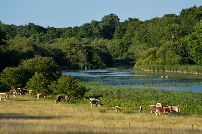 Old English longhorns graze beside a lake in a naturalistic grazing project at Knepp Castle, in ...