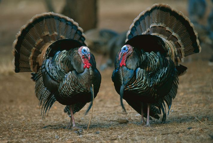 Male turkeys strut their stuff to win the attention of females. Turkeys adhere to a strict ...