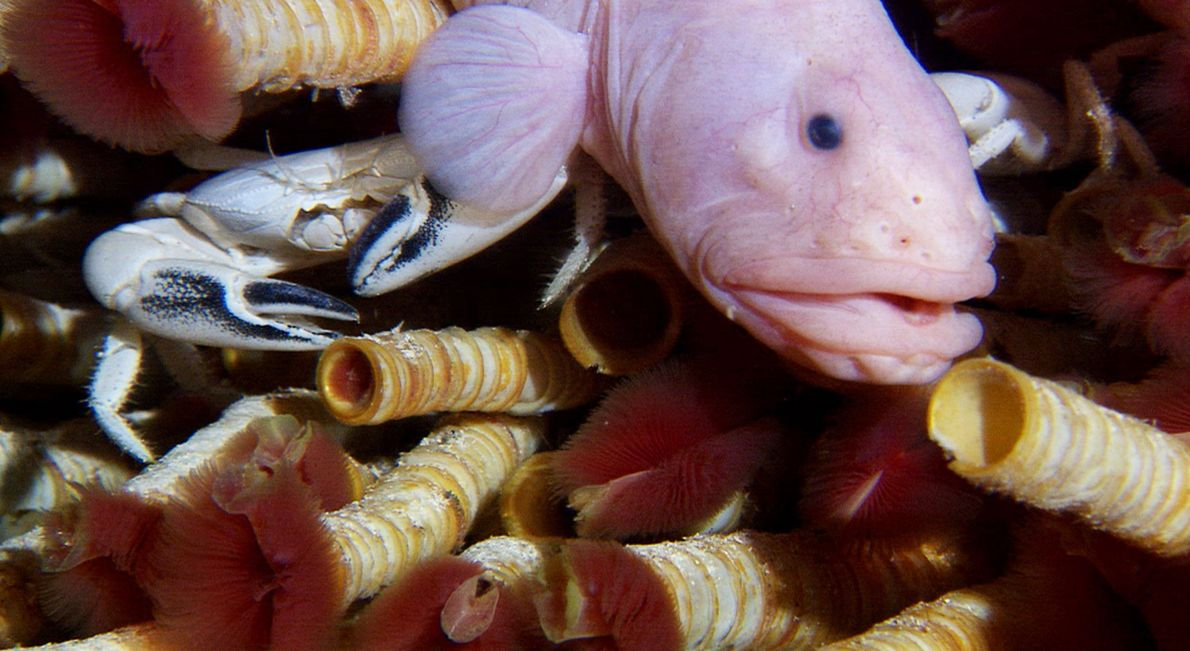 Tubeworms (red), an eelpout fish, and a crab jockey for space near a hydrothermal vent on ...
