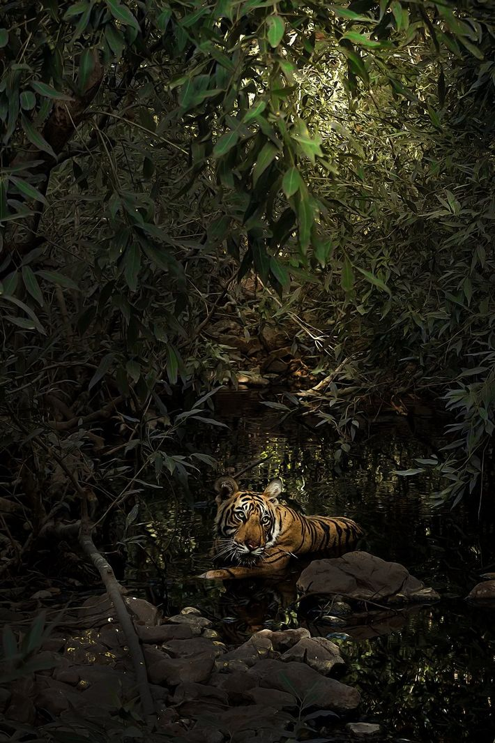 """""""It seemed like a painting: a tiger in a pool under the canopy of dense foliage, ..."""
