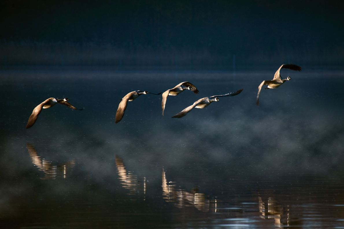 Canada geese fly over a misty lake in London.