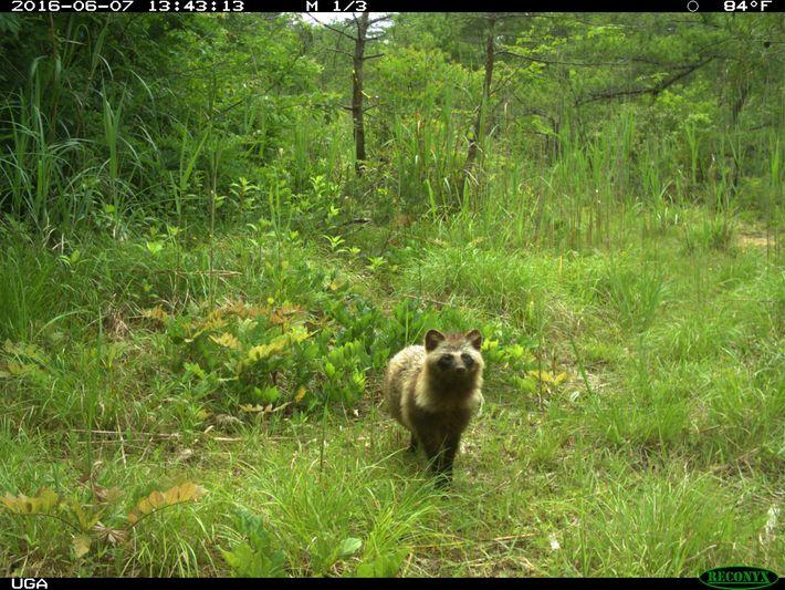 A raccoon dog photographed in the Fukusihma Daiichi exlcusion zone.