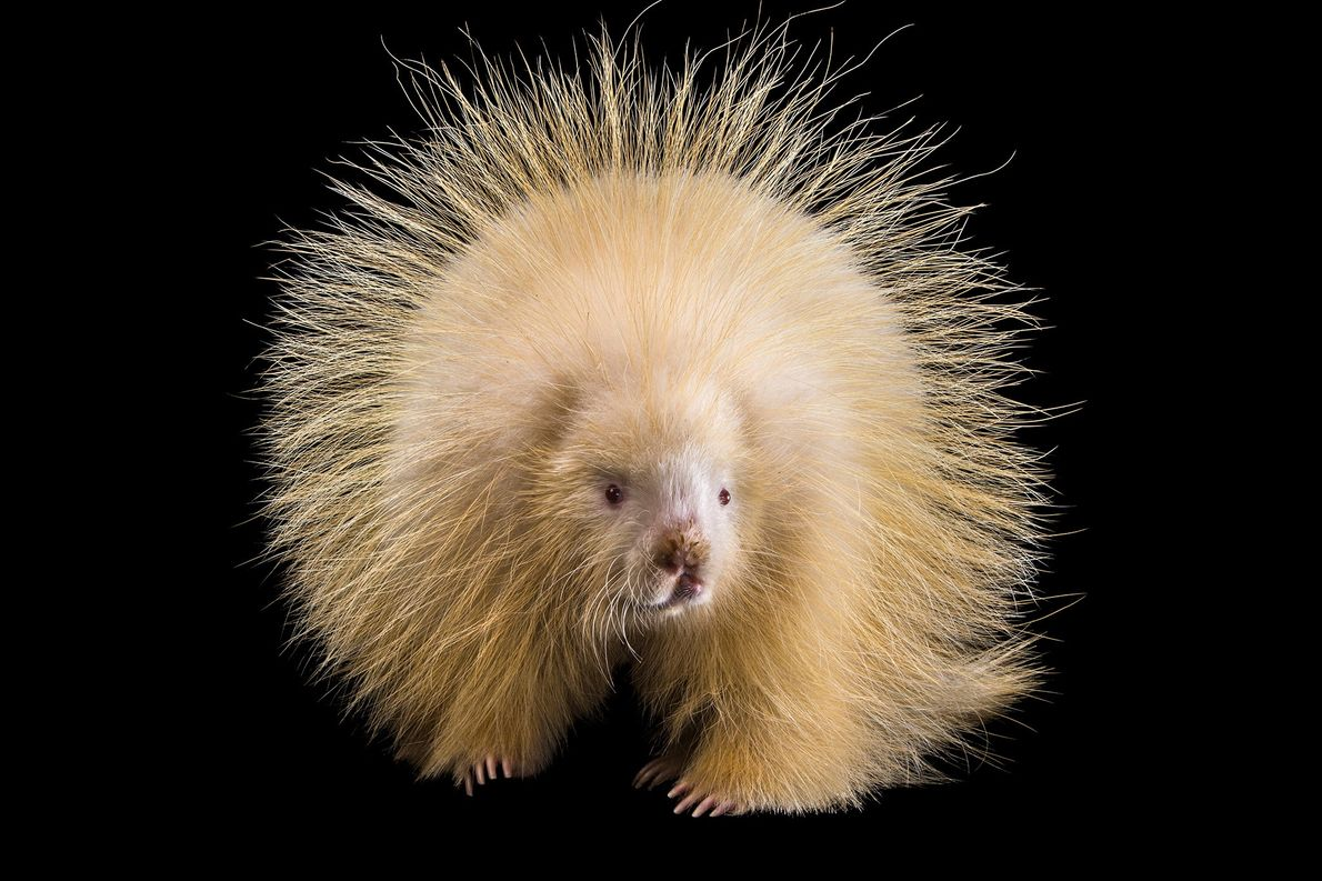 An albino North American porcupine at the Nebraska Wildlife Rehab, Inc. shows its quills.