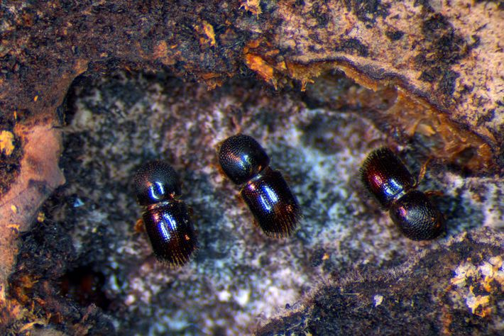 Ambrosia beetles are the world's first farmers; their ancestors first evolved more than 100 million years ...