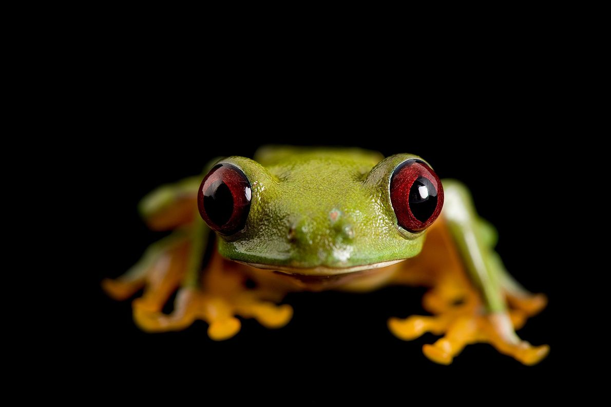 A pink-sided treefrog ('Agalychnis litodryas') at the Catholic University of Ecuador.