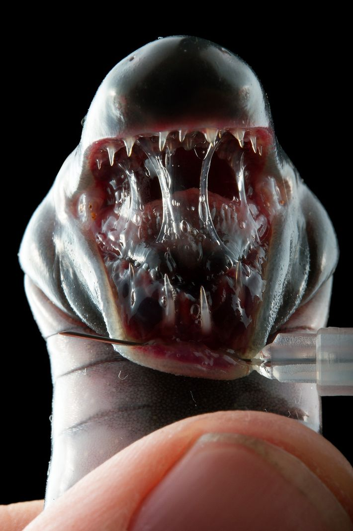 A museum specimen of a giant caecilian (Caecilia pachynema) reveals its three rows of teeth.