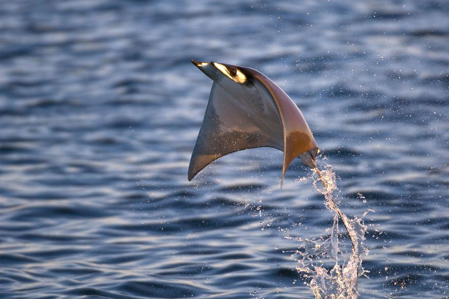 A smoothtail ray, Mobula thurstoni, soars above the surface of the Sea of Cortez, Mexico.