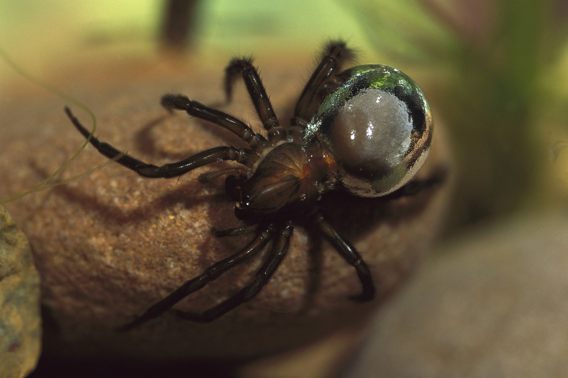 A diving bell spider carries trapped air on its abdomen, giving it a silvery appearance.