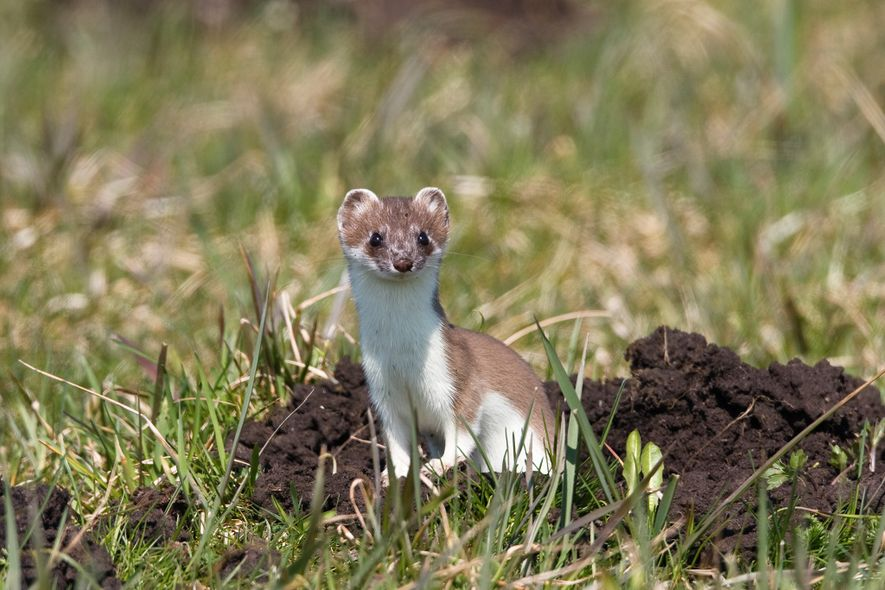 A stoat in its summer coat. The brown fur helps it blend into grasses in warm ...