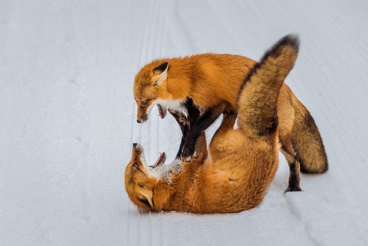 Red foxes wrestle in snowbound Ontario.