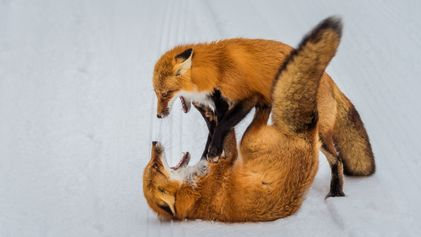 35 STRIKING PICTURES OF ANIMALS FIGHTING