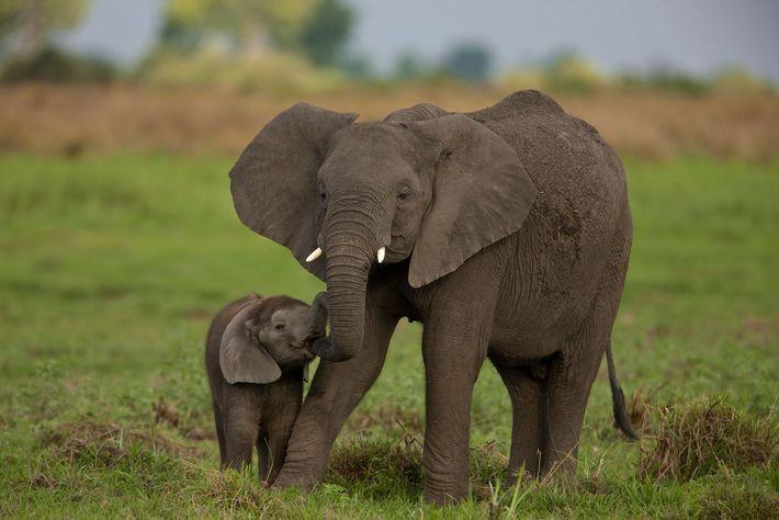 An elephant greets her calf in Botswana's Okavango Delta.