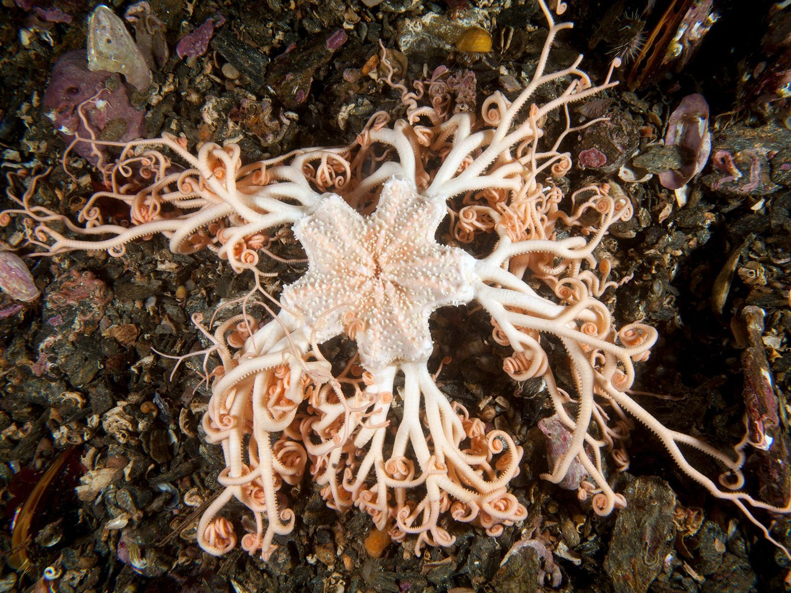 Gorgon's head sea stars have curly arms, each of which contains a spinal cord.