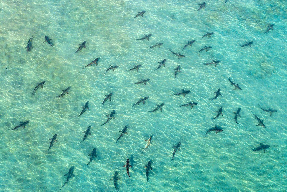Blacktip sharks. Juno Beach, Florida, United States.