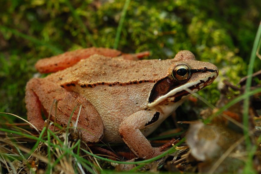 Wood frogs are the only frog species that lives north of the Arctic Circle.