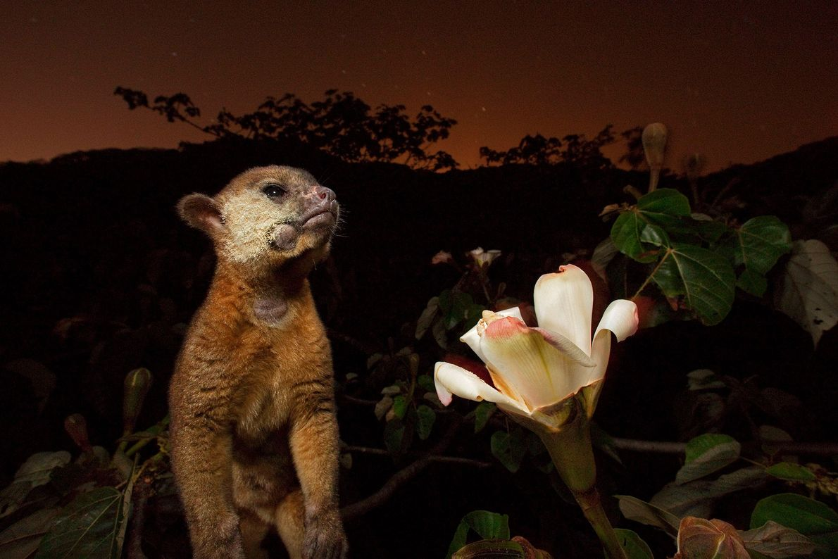 A kinkajou, with pollen-dusted cheek, feeds on nectar from an Ochroma blossom in Panama.