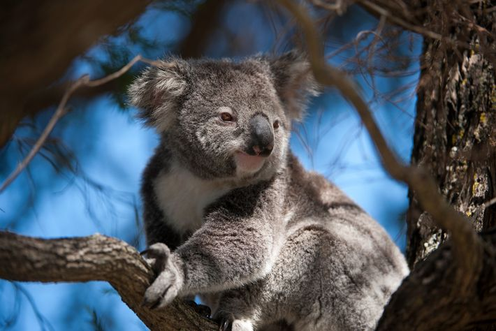 Koalas, native to Australia, are marsupials that are uniquely well-adapted to their environment.