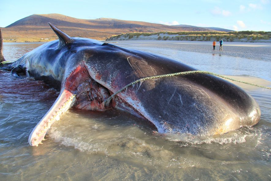 In November 2019, a young sperm whale was found dead on a beach on the Isle ...