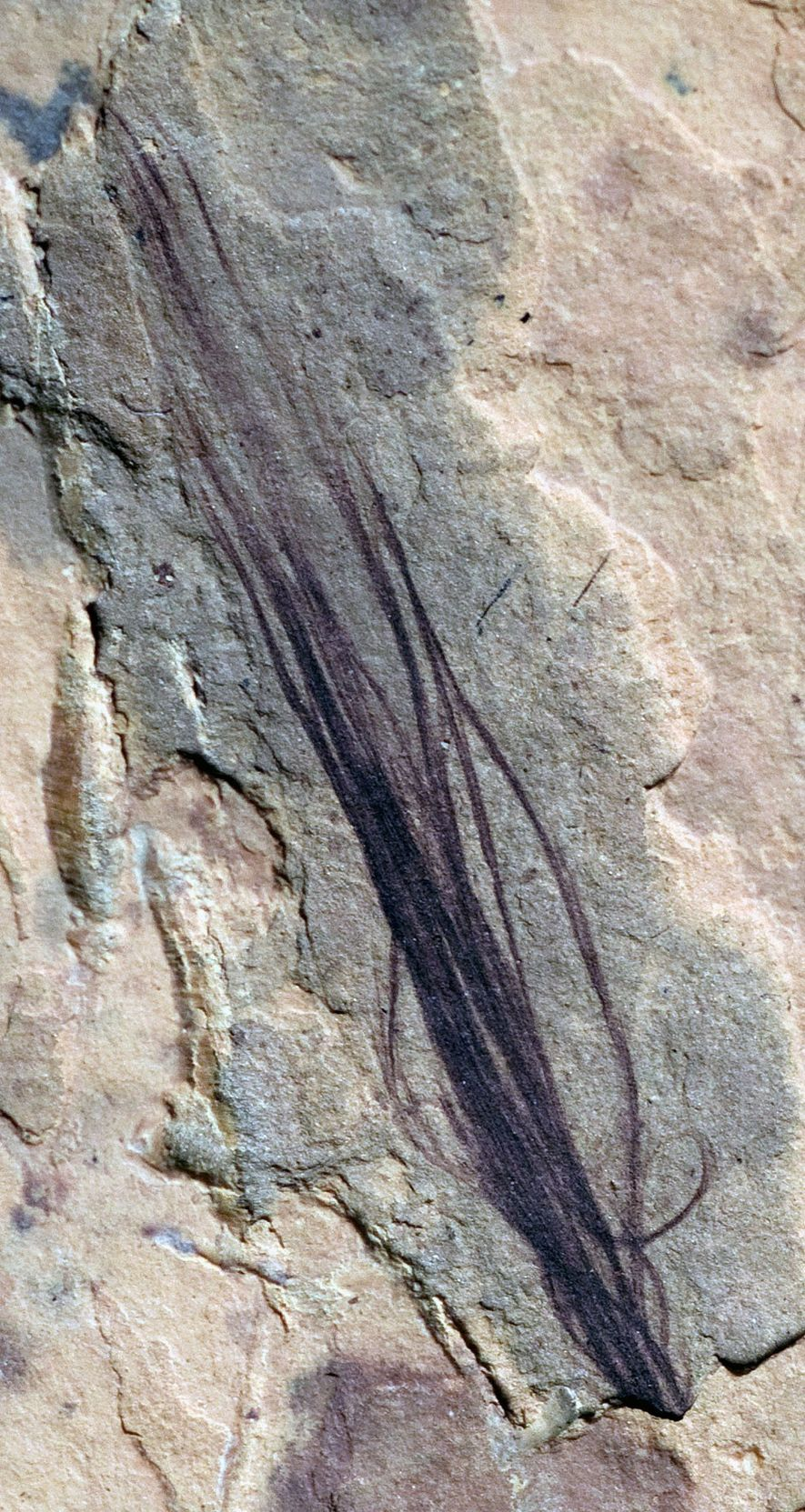 The set of 10 well-preserved fossil feathers found at a dig site in Australia includes a ...