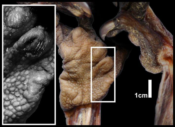 A close-up image shows the fleshy pad above the aye-aye's pseudo-thumb.