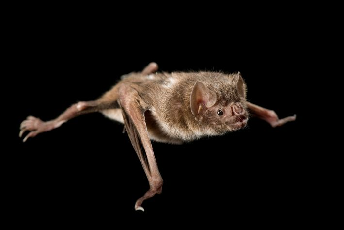 Up to 20 bats of various species, including vampire bats like this one, may be crammed ...