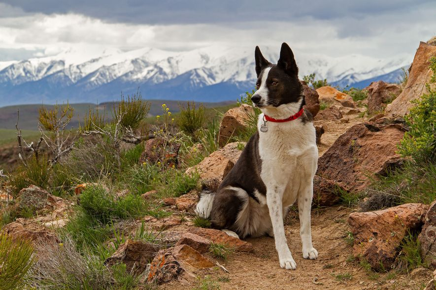 Karelian bear dogs (pictured, Orca in Nevada) were originally bred in Europe to hunt big game.