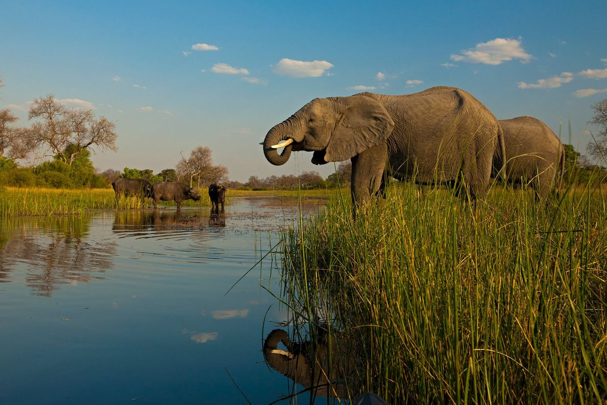 African elephants and an African buffalo drink inside Botswana's Zarafa Reserve.