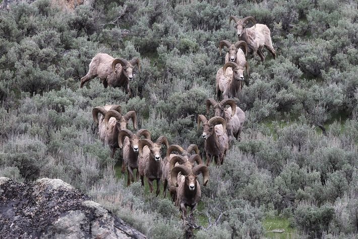 Bighorn sheep can form groups, which facilitate the transfer of cultural knowledge. This group was photographed ...