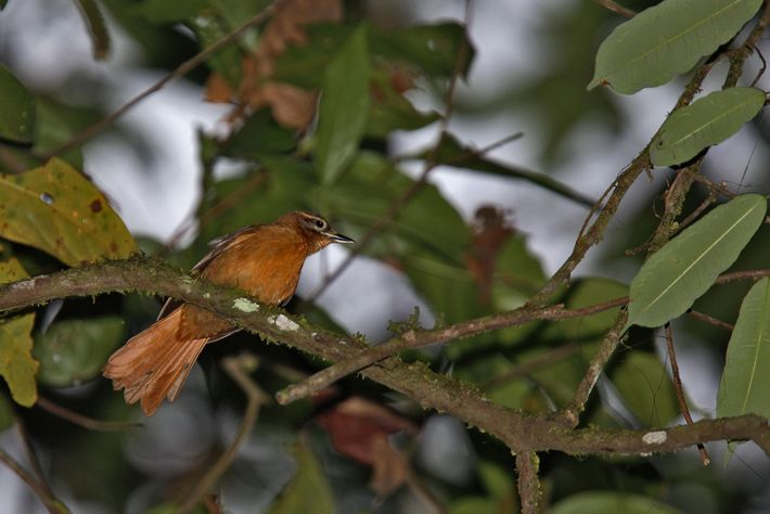 The alagoas foliage-gleaner, once found in northeast Brazil, may already be extinct.
