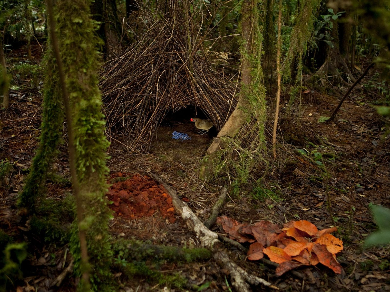 A male Vogelkof bowerbird stands in his bower entrance, holding an orange fruit he has just ...