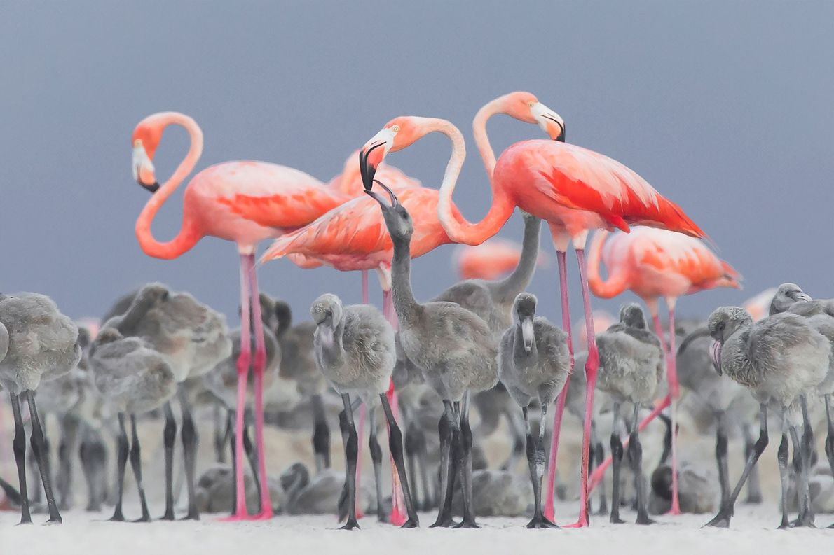 A vibrant image of pink flamingos feeding their young at a nesting area in Río Lagartos, ...
