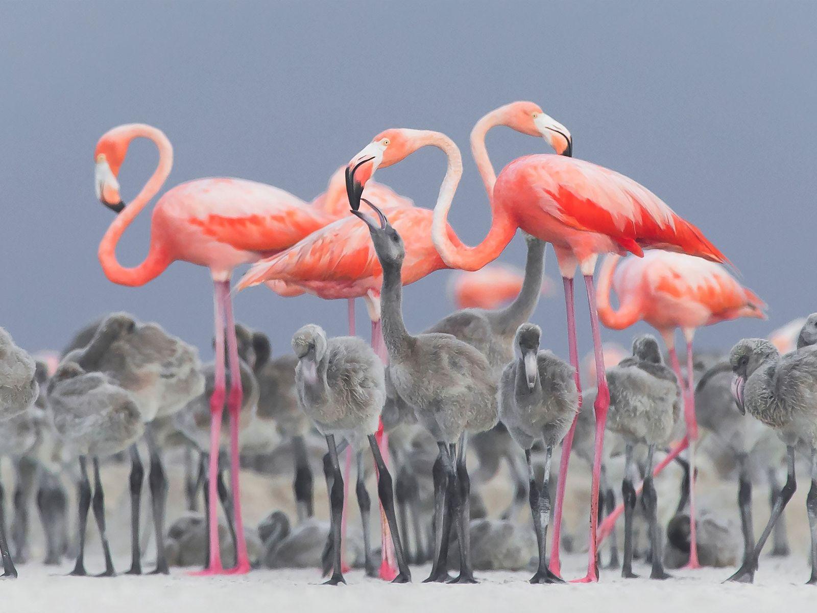 A vibrant image of pink flamingos feeding their young at a nesting area in Río Lagartos, ...