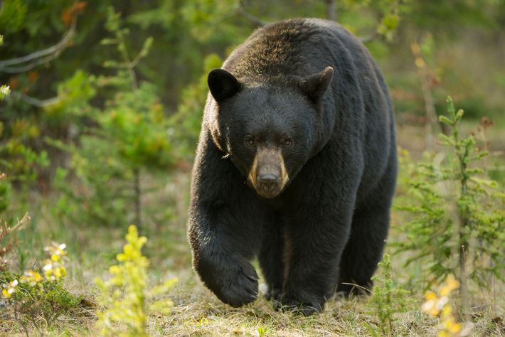 Black bears are not known for being aggressive, but attacks on people occasionally occur.