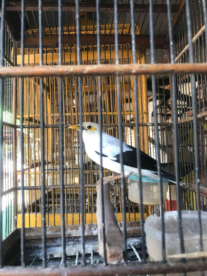 Researchers counted more than 1,200 black-winged mynahs for sale in bird markets on the Indonesian islands ...