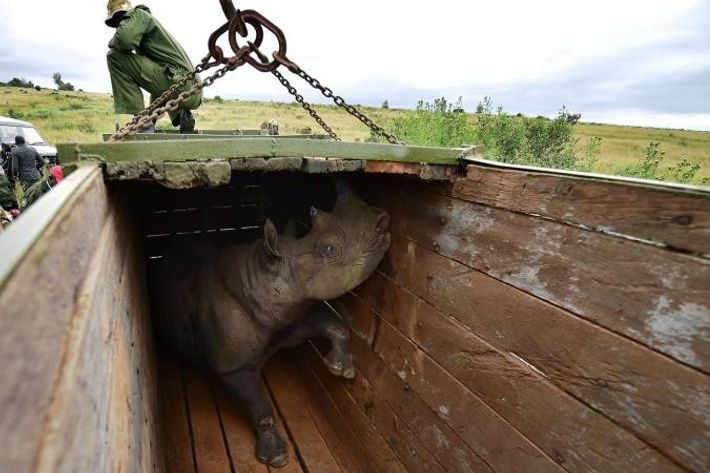 Transporting rhinos is a complicated and risky endeavour. Rhinos are sedated and examined before being coaxed ...