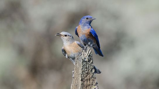 Aggressive western bluebirds are good at seizing territory but timid ones reproduce more.