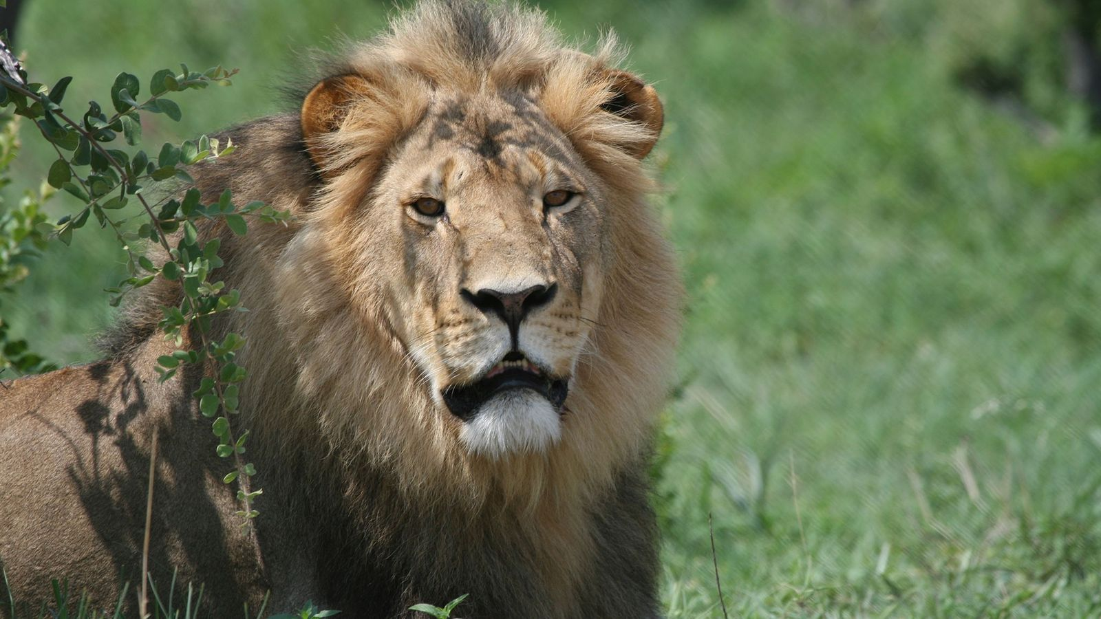 Wildlife biologist Andrew Loveridge studied Cecil for seven years after attaching a tracking collar to the ...
