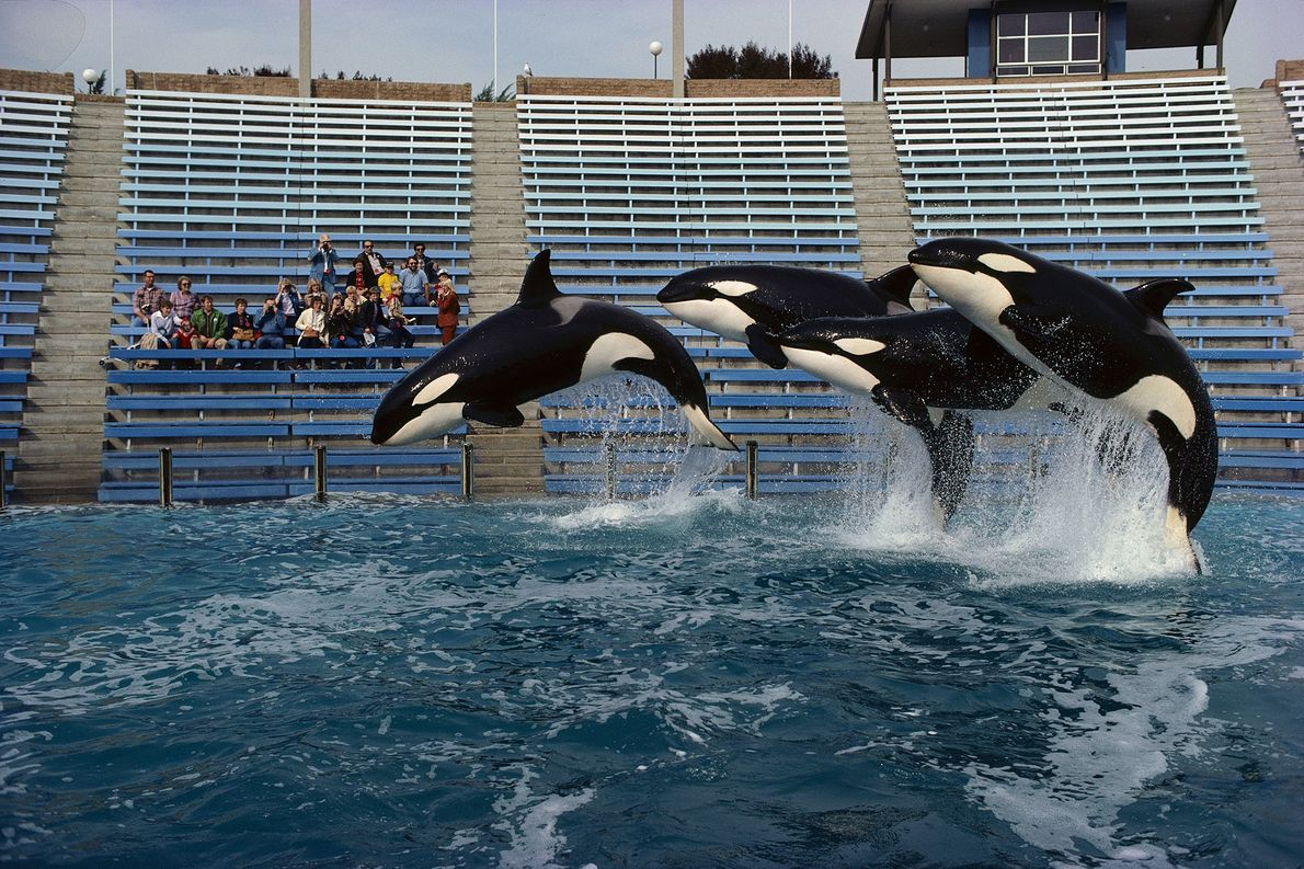 A trio of orcas jump at Sea World in San Diego, California. At one point, orca ...
