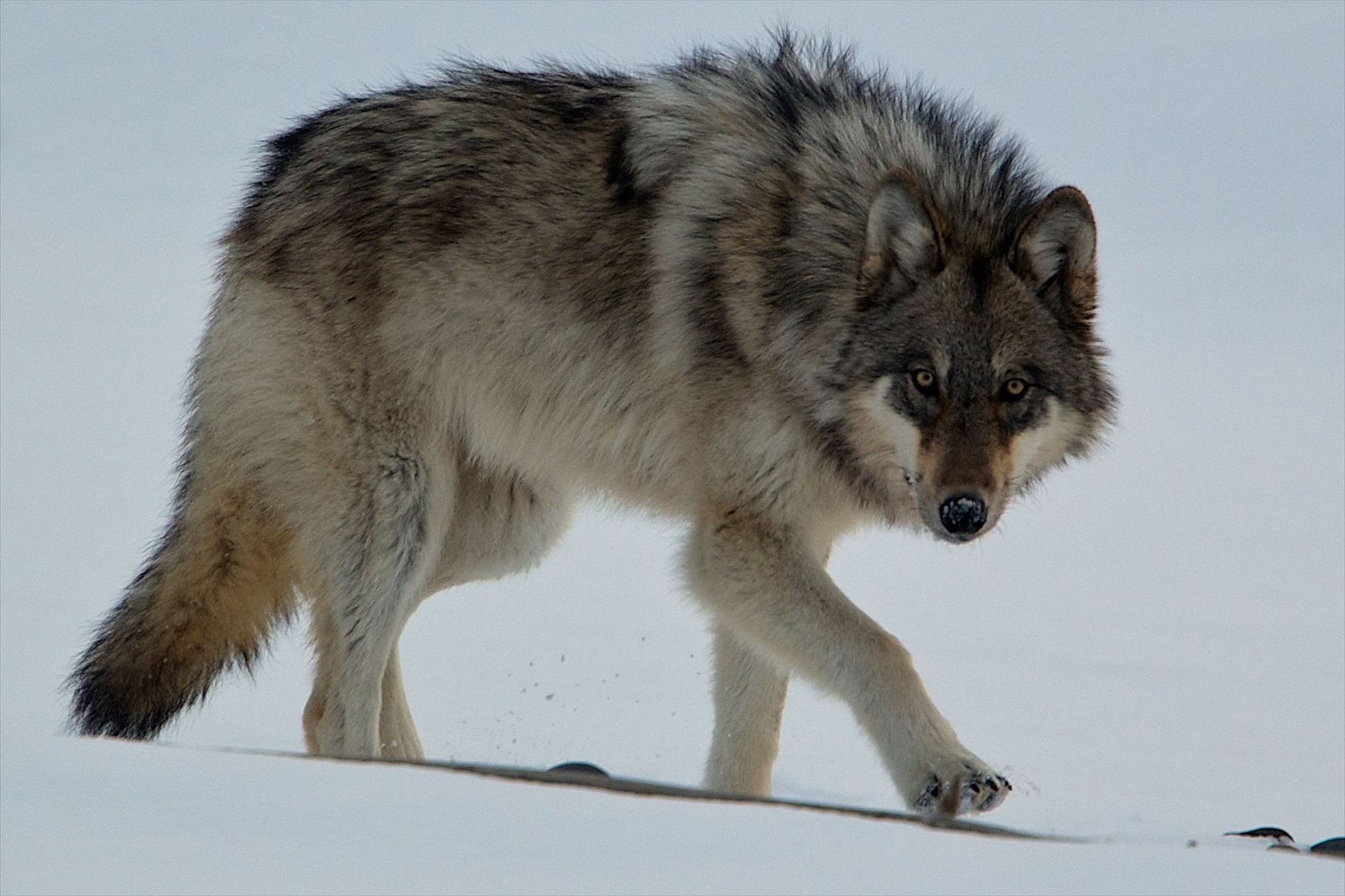 A young gray wolf stalks through the snow. Wolves were reintroduced to Yellowstone National Park in ...
