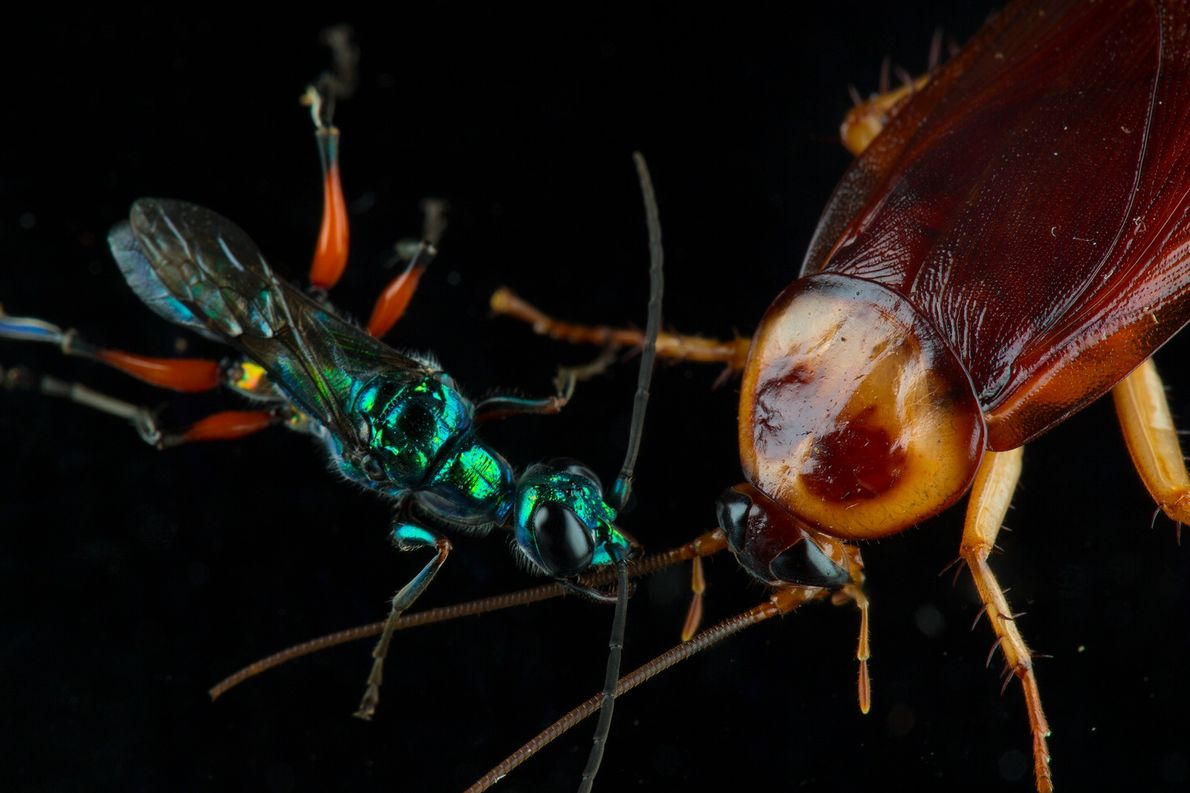 The emerald cockroach wasp turns cockroaches into zombie nurseries. The wasp injects venom into a cockroach's ...