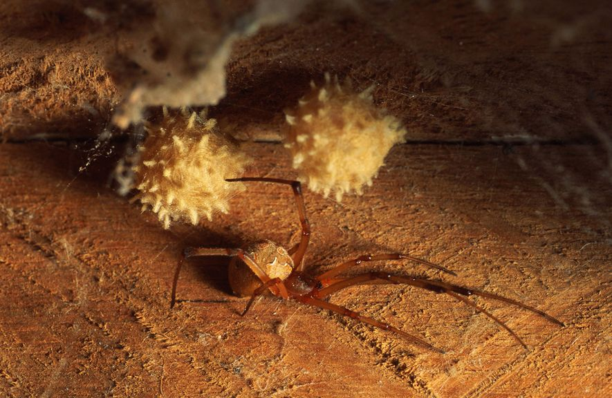 A female brown widow spider protects her cocoon of eggs.