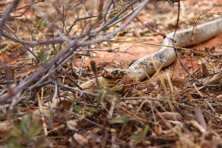 A cape cobra male consumes a smaller male of the same species in southern Africa, a ...