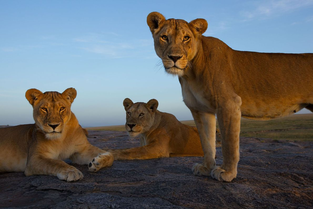 A remotely operated camera captured these lionesses resting on a kopje, a rocky outcrop in Serengeti ...