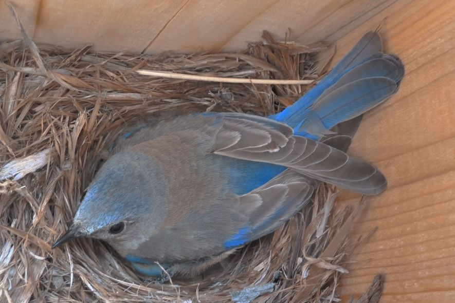 A western bluebird nests in an experimental box provided by the scientists.