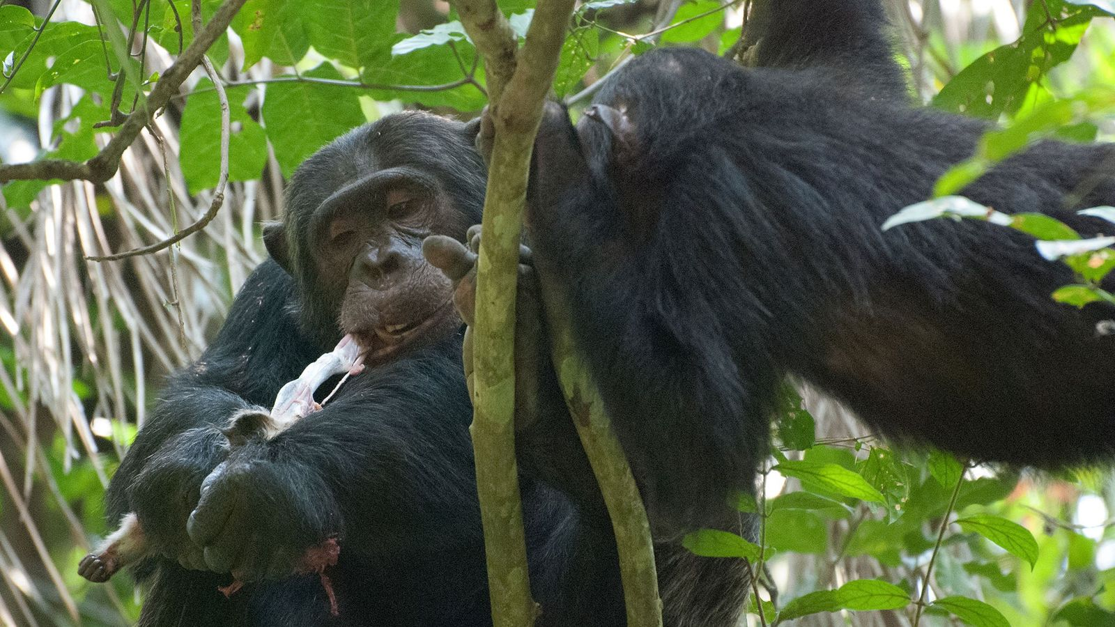 A male chimpanzee feeds on a red colobus monkey in Gombe National Park, Tanzania.