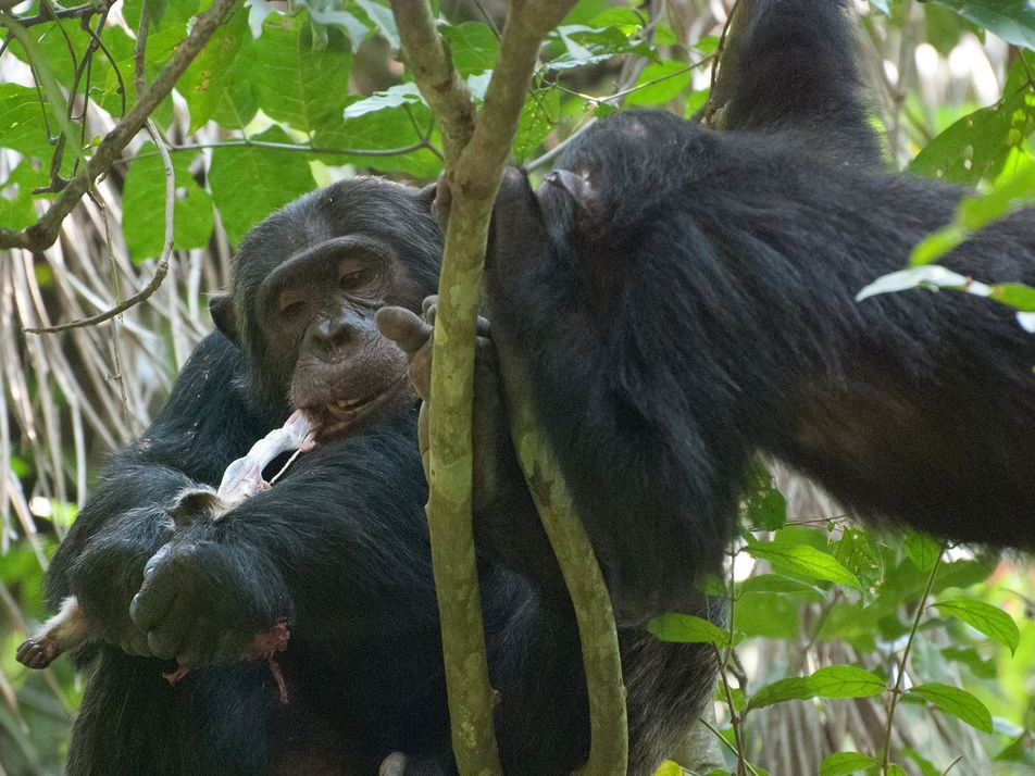Chimps Eat Baby Monkey Brains First—A Clue to Human Evolution