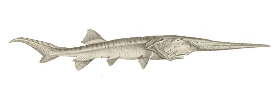 Chinese paddlefish (Psephurus gladius) had a long sword-like rostrum, a snout-like structure packed with cells to ...