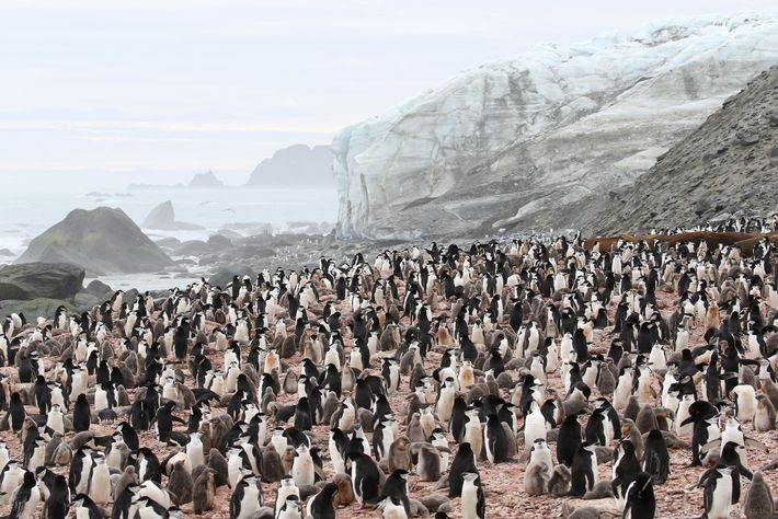 A colony of chinstraps gather on the south coast of Elephant Island. The species is the ...