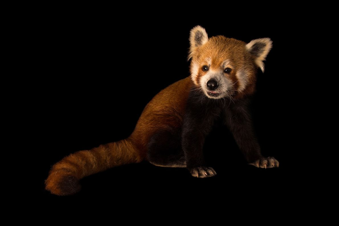 An endangered male Western red panda (Ailurus fulgens fulgens) at the Chattanooga Zoo.