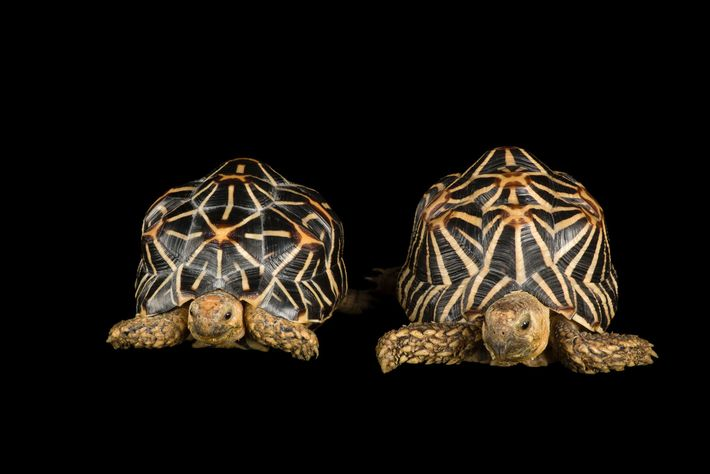 "The Indian star tortoise, considered a ""vulnerable"" species, is one of the world's heavily trafficked tortoises. ..."